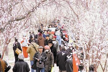 桃花节吸引大量游客