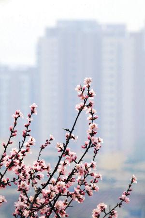 蓟县山区的野生山桃花陆续开放