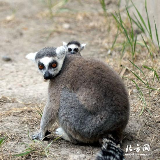 """天津动物园新生6只环尾狐猴 """"龙凤胎""""受宠爱"""