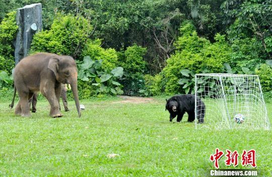 """广州长隆野生动物世界的各路动物明星也来""""足球争霸"""""""
