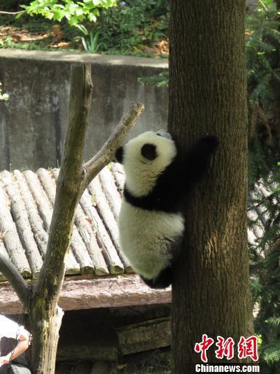 经研究中心组织协调,大熊猫主食的竹子,苹果,胡萝卜等其他饲料以及